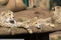 Sudan_Gepard-ZooLD-2016_02_06-02080