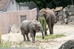 Elefant-ZooWien-2016_06_19-09590