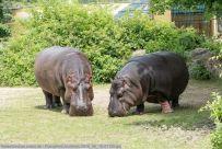 Flusspferd-ZooWien-2016_06_19-01126
