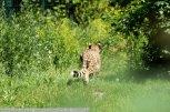 Gepard-ZooWien-2016_06_19-00995