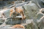 HimalayaThar-ZooWien-2016_06_19-01461