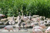 RosaFlamingo-ZooWien-2016_06_19-08731