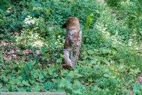 Luchs-WildparkPF-2017_05_25-65A02513