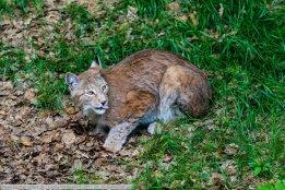 Luchs-WildparkPF-2017_05_25-65A02596