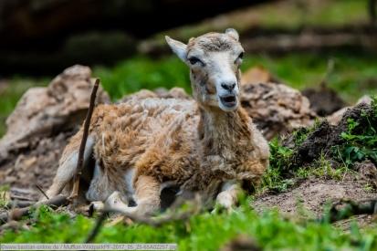 Mufflon-WildparkPF-2017_05_25-65A02257