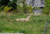 Gepard-PairiDaiza-2017_09_01-65A01170