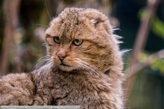 Wildkatze-WildparkPF-2017_10_31-63A00986