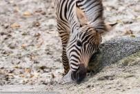 Zebra-ZooKA-2017_10_07-63A09037