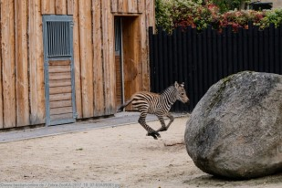 Zebra-ZooKA-2017_10_07-63A09083