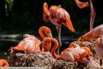 Flamingo-ZooHD-2018_06_23-63A00282