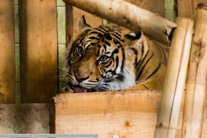 Sumatratiger-ZooHD-2018_06_23-63A01431