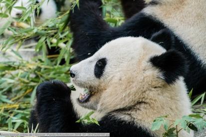 Grosser_Panda-Schoenbrunn-2018_07_28-63A06150